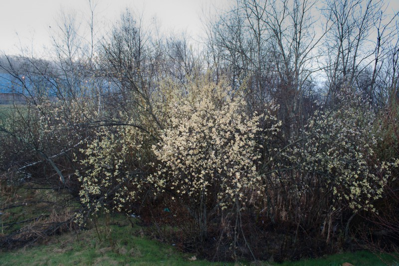 lampton, portland, bush in spring
